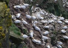 Gannet colony, Unst
