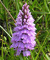 wildlife scotland orchid