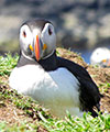 wildlife scotland puffin